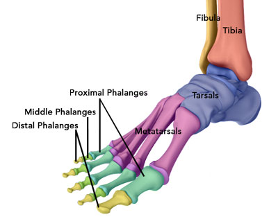 Normal Anatomy of the Foot and Ankle